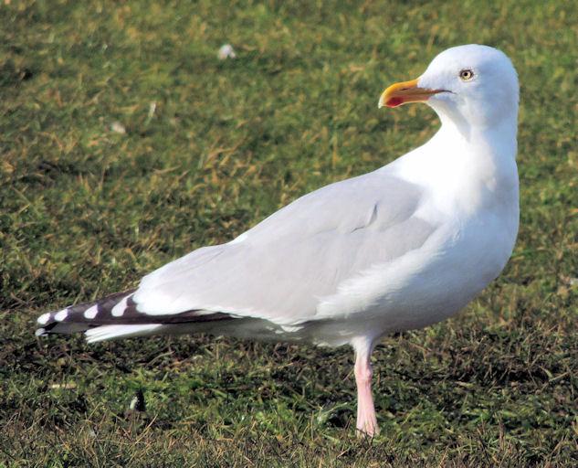 Herring gull, Ballyholme, Bangor (February 2015)