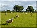 NY4856 : Pasture, Hayton by Andrew Smith