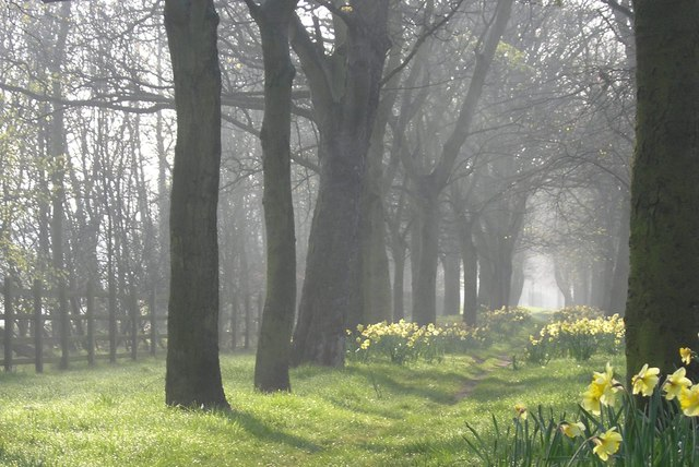 Avenue of Trees and Daffodils besides Claremont Road