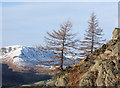 NY3407 : Larch trees with outcropping rock by Trevor Littlewood