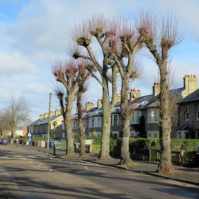 Pollarded trees in Vinery Road
