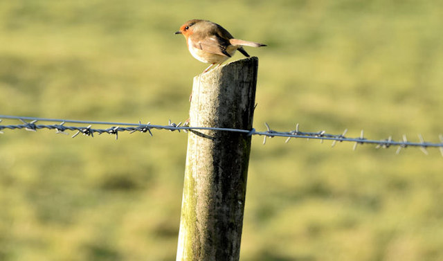 Robin and fence, Lisnabreeny, Belfast (February 2015)