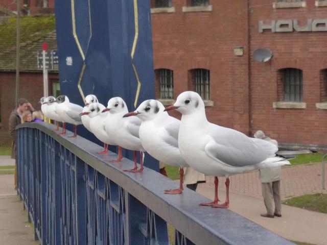 Birds in a row - Exeter