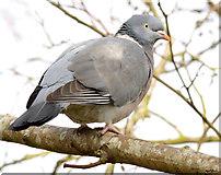 J4774 : Wood pigeon, Kiltonga, Newtownards (February 2015) by Albert Bridge