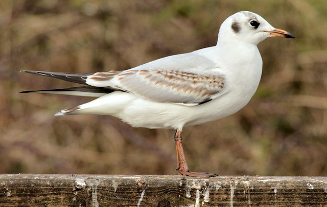 Black-headed gull, Kiltonga, Newtownards - February 2015(2)