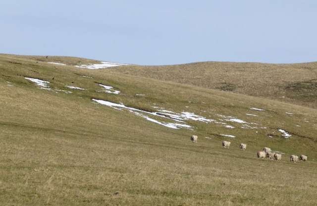 Snow, sheep and crows