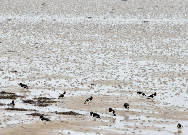 Oystercatchers, Strangford Lough, Newtownards (February 2015)
