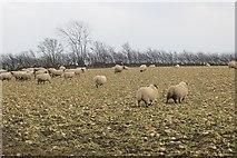 NY2752 : Sheep, Aikton by Richard Webb