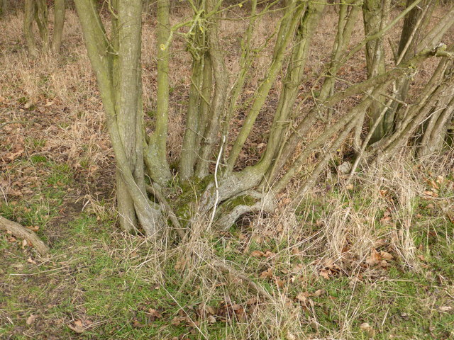 Former hedge laying