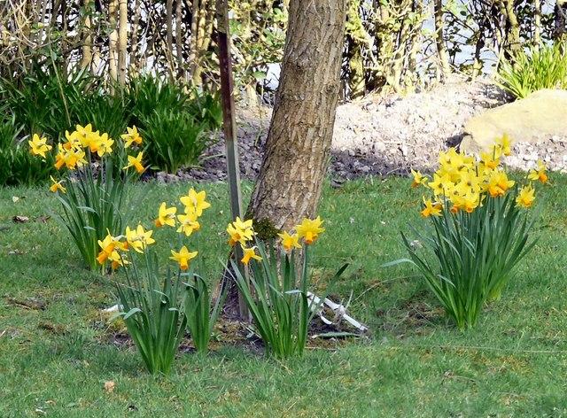 Suburban Daffodils