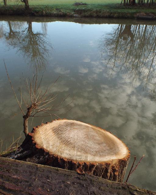 Stump of poplar by the River Avon, rear of Mercia Way, Warwick