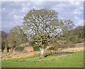 J5150 : Tree, Delamont Country Park by Rossographer