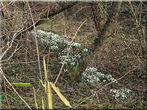 TM0855 : Snowdrops by the River Gipping by Andy Parrett