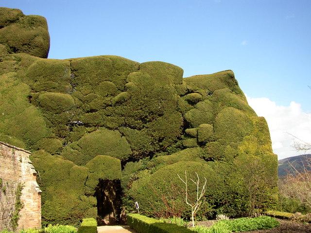 Mountainous yew, Powis Castle