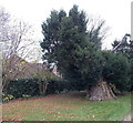 SU5190 : Ancient yew in Didcot by Jaggery