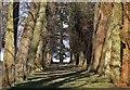 SE7169 : Avenue of trees by Pauline E