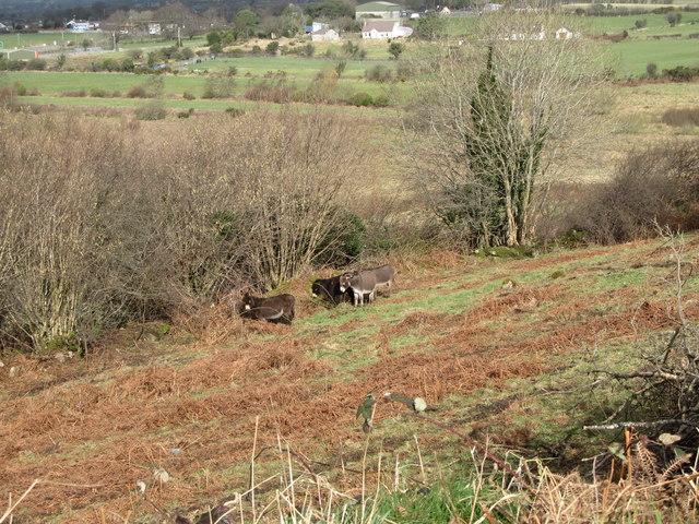 Donkeys in a border field