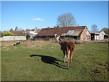 TQ7048 : Llama by Benover Road by Oast House Archive