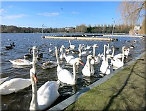 TQ2472 : Swan Lake, Wimbledon by Des Blenkinsopp