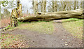 J4677 : Fallen tree, Clandeboye, Bangor (March 2015) by Albert Bridge