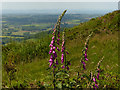 SO7645 : Foxgloves at the Malvern Hills by Mat Fascione