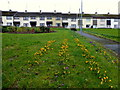 H4472 : Lines of crocuses, Omagh by Kenneth  Allen