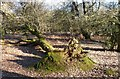 SP9711 : Ashridge Estate - A fallen tree by Rob Farrow