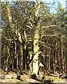 SP9711 : Ashridge Estate - Large sunlit tree by Rob Farrow
