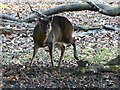 SP9712 : Ashridge Estate - A wary Reeve's Muntjac by Rob Farrow