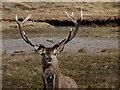 NH4289 : Red deer stag by Lizzie Croose