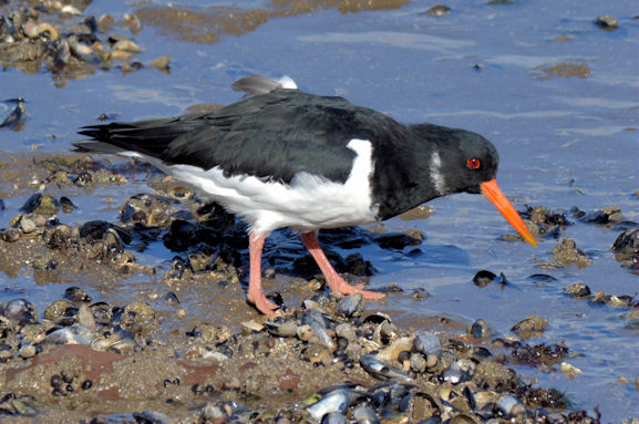 Oystercatcher, Holywood (March 2015)