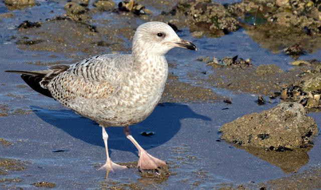 Juvenile gull, Holywood (March 2015)