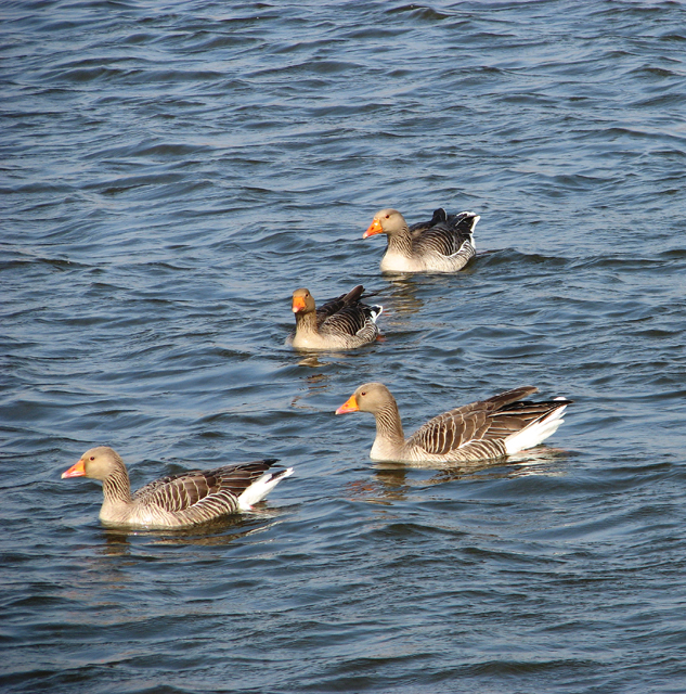 Greylag geese on the River Yare
