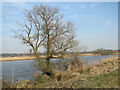TG3504 : Solitary tree beside the River Yare by Evelyn Simak