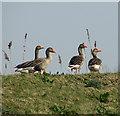 TG3604 : Greylag geese by Evelyn Simak