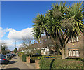 TQ2587 : Palm Tree in Golders Green by Des Blenkinsopp