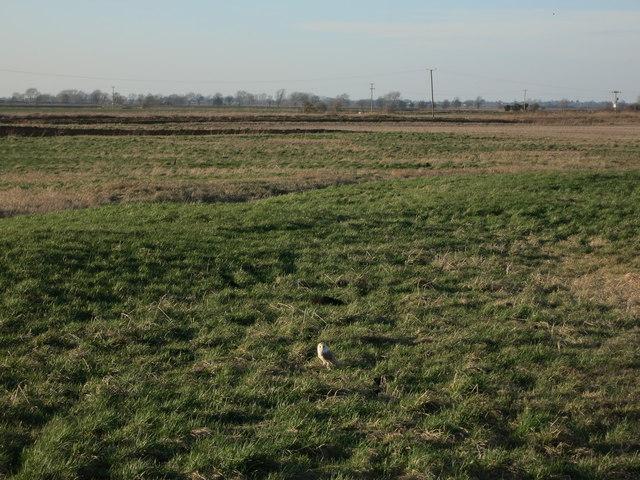 Barn Owl near Four Acres