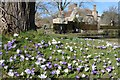 TQ6723 : Crocuses and Bateman's by Philip Halling