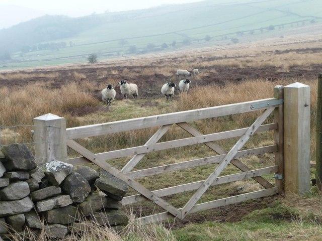 Sheep grazing on Askwith Moor
