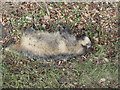 NT4663 : Road killed Badger by M J Richardson