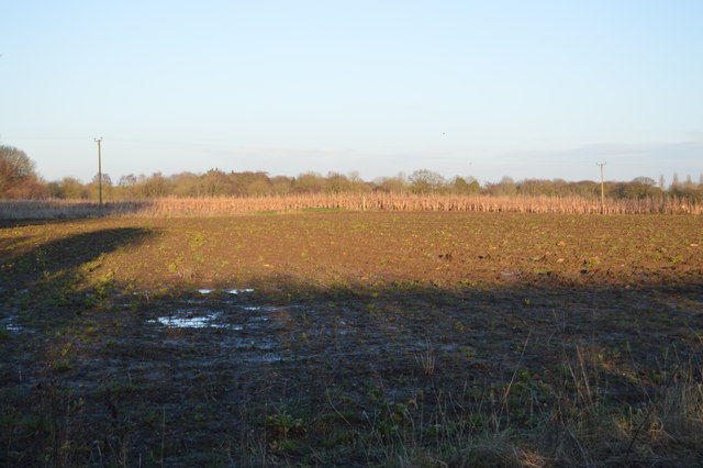 Maize in the distance