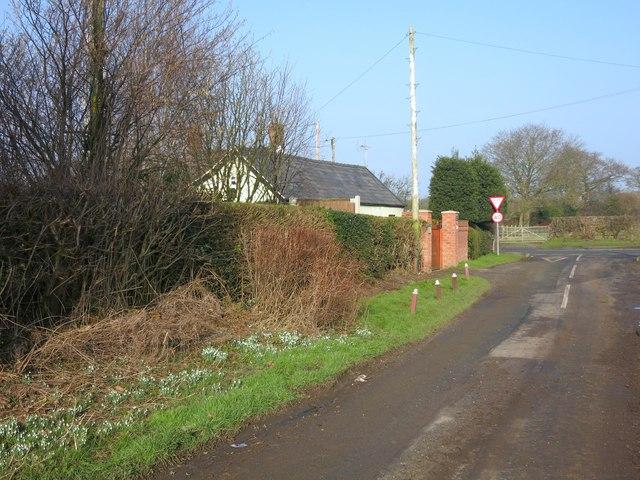 Snowdrops beside Poolford Lane