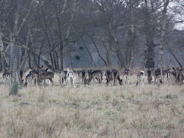 Deer, Captain's Wood SWT reserve
