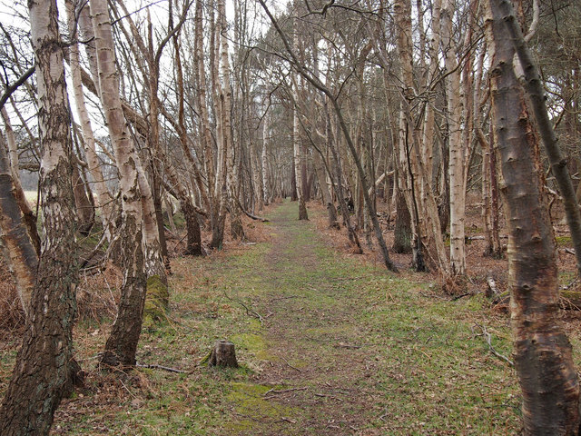 Path through Silver Birch Trees, SWT Captain's Wood