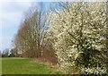 TL7809 : Blackthorn blossom alongside the Chelmer Navigation canal by Derek Voller