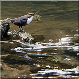 SK1272 : Dipper in Chee Dale by Peter Barr