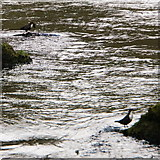 SK1272 : Pair of Dippers, Chee Dale by Peter Barr