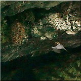SK1272 : Dipper approaching nest, Chee Dale by Peter Barr