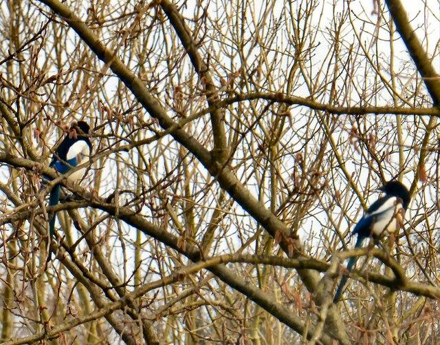 A pair of magpies