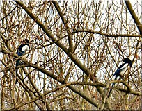 SJ9594 : A pair of magpies by Gerald England